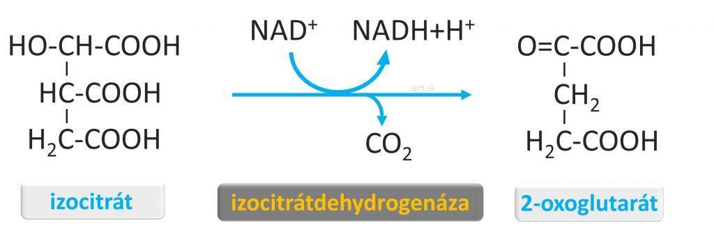 citratovy-krebsov-cyklus - biochémia -2-oxoglutarat