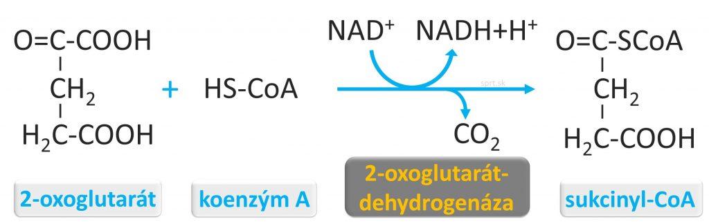 biochemia - citratovy-krebsov-cyklus - 2_sukcynyl
