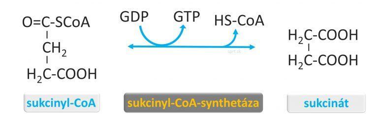 biochemia - citratovy-krebsov-cyklus - 2-sukcinat