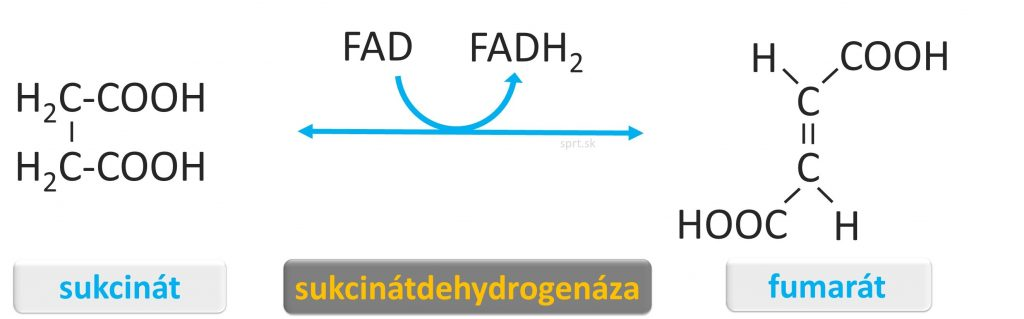 biochemia - citratovy-krebsov-cyklus - fumarat