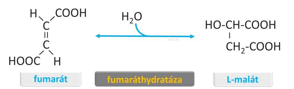 citratovy - krebsov - cyklus - L_malat