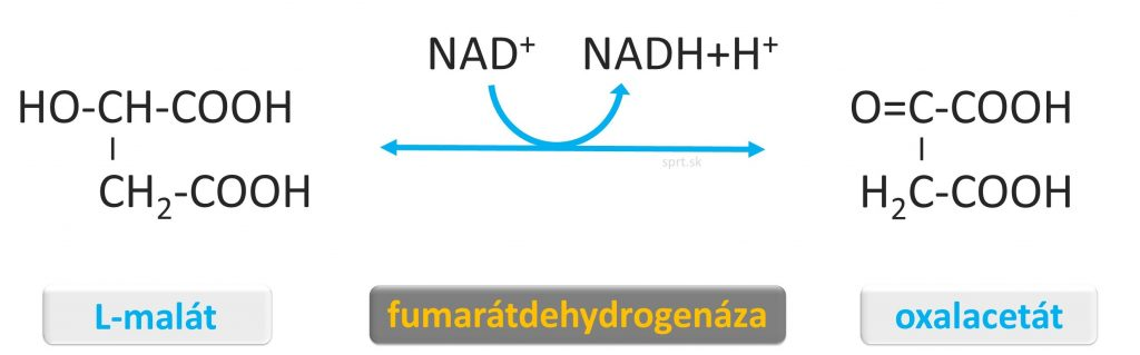 citratovy krebsov cyklus - oxalacetat