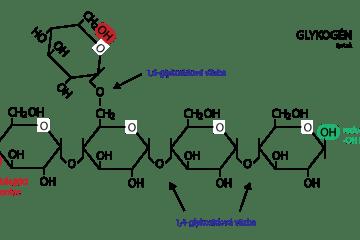 glykogén