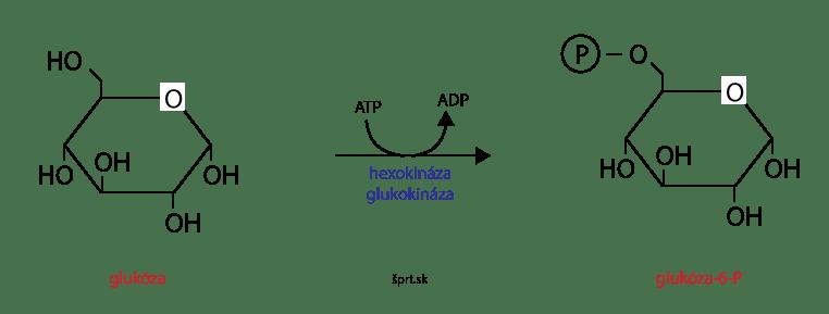 glykolýza hexokináza glukokináza