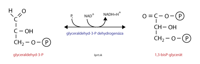 glykolýza