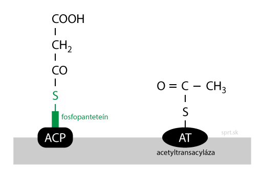 syntéza mastných kyselín