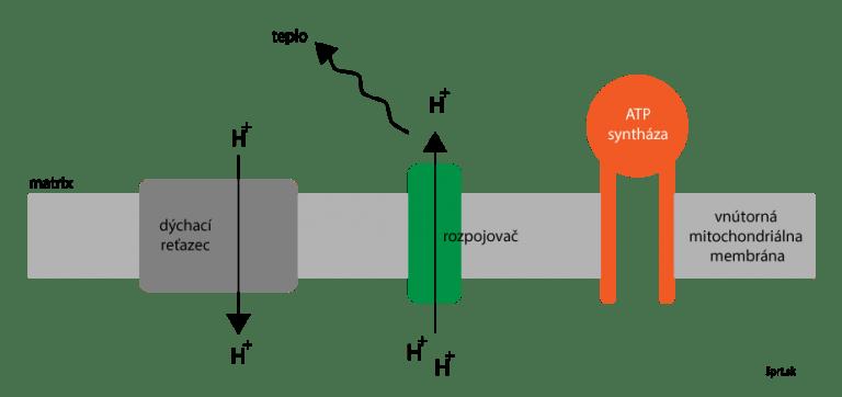 oxidatívna fosforylácia