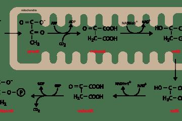 glukoneogenéza