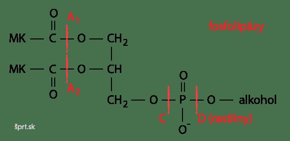 fosfolipáza